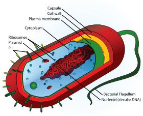 Bacterial Structure  WikiEducator