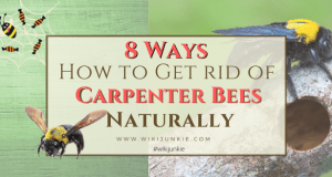 8 Ways How to Get Rid of Carpenter Bees Naturally