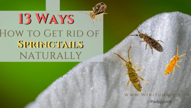 Photo of 13 Ways How to Get Rid of Springtails Naturally