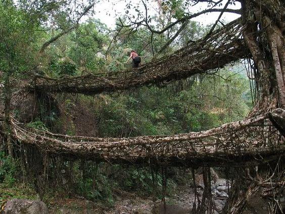 living bridges of cherrapunji Meghalaya