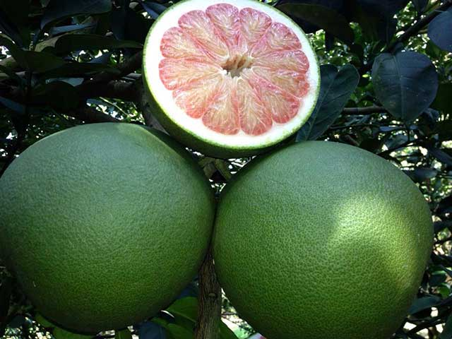 techniques of planting and caring for green skin pomelo