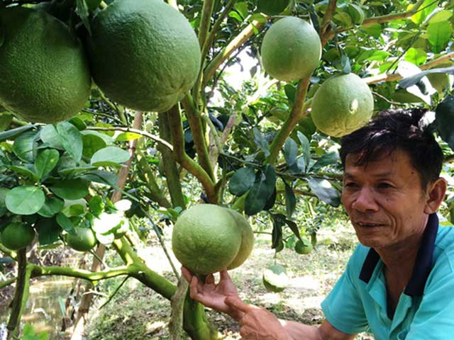 How to grow green grapefruit for high income