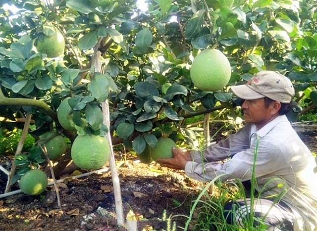 Create a canopy for green skin grapefruit