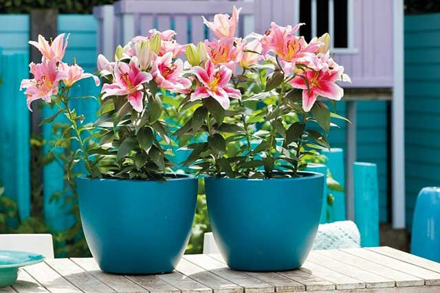 How to grow lilies in pots