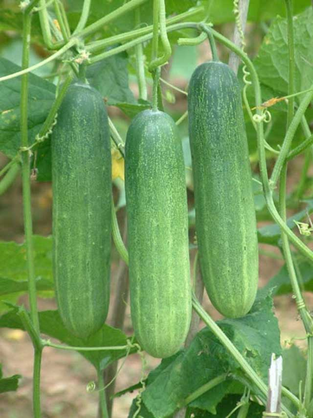 Take care of cucumber clean from disease