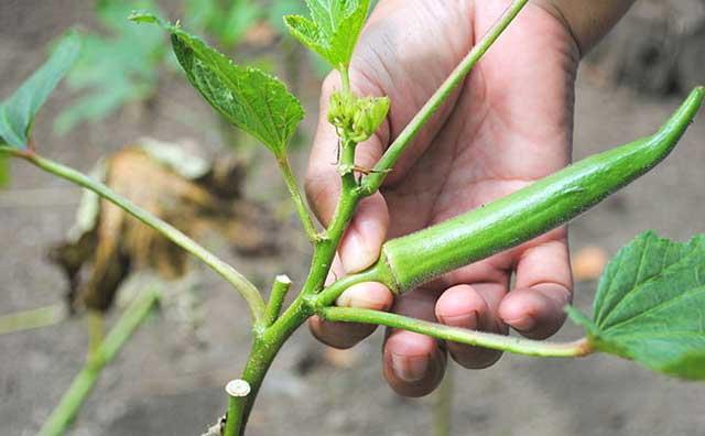 Harvest okra