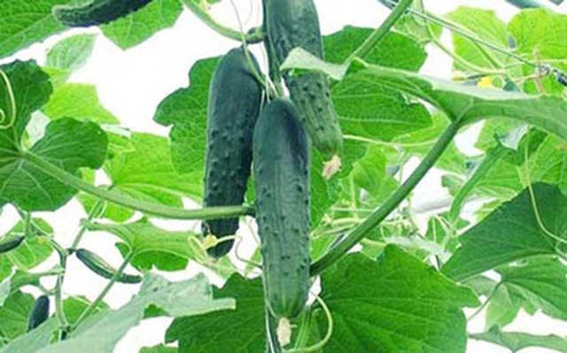 Should grow cucumbers to ensure food safety