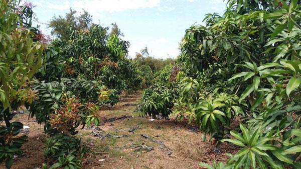 Prepare a mango garden land