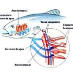 Respiración de los peces