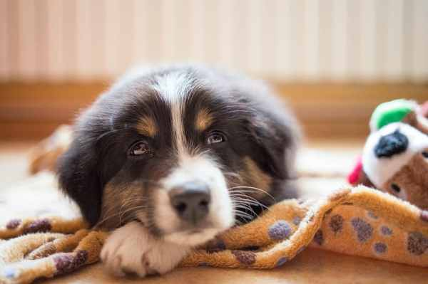 Как научить щенка команде «Место»: 7 советов от Victoria ...