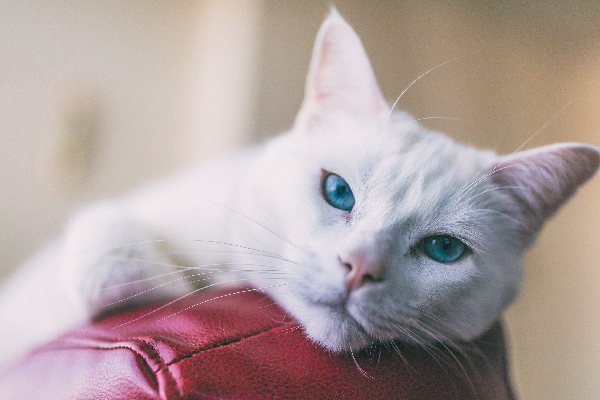 Turkish Angora close up on couch - (10) Ten Of The Rarest Cat Breeds In Existence Today