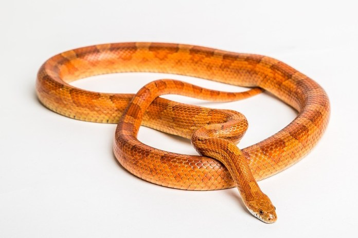 Do Corn Snakes Make Good Pets? What Do Corn Snakes Eat & How To Care For Them 2