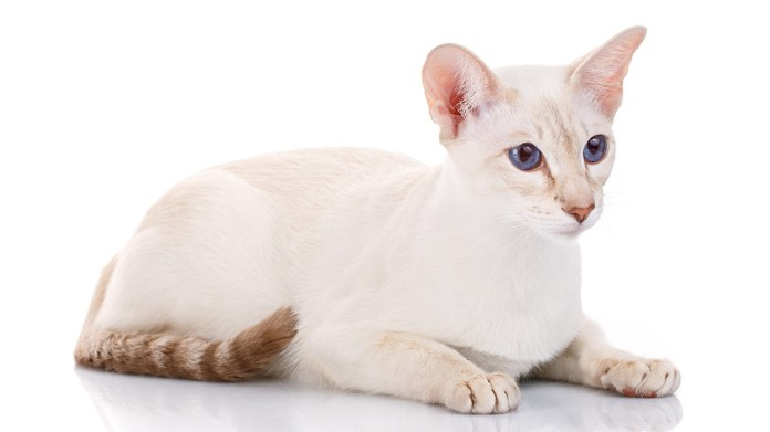 colorpoint shorthair header - (10) Ten Of The Rarest Cat Breeds In Existence Today