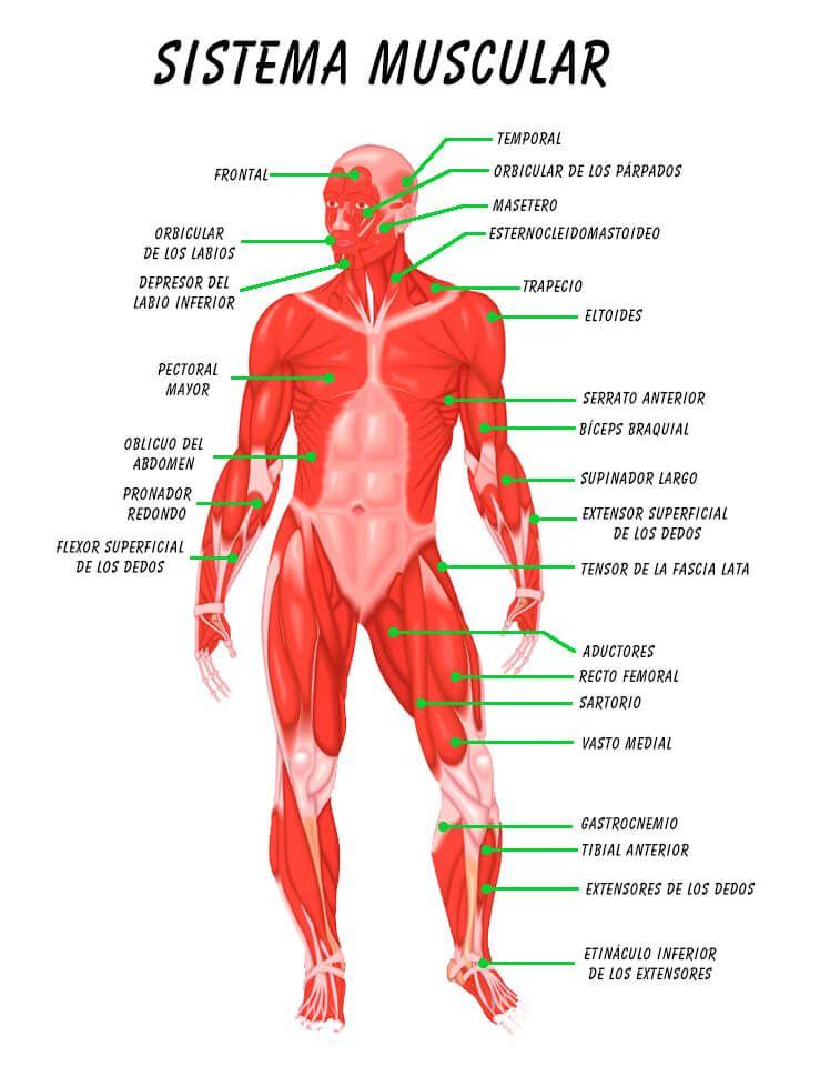 Asombroso Foto Sistema Muscular Humana Galería - Anatomía de Las ...