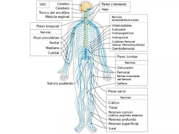 Sistema nervioso somático: qué es y función - Qué es el sistema nervioso somático
