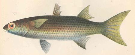 FMIB 45841 Mugil ashanteensis.jpeg