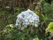 Hydrangea growing in Dilniwas, Upper Bakrota, Dalhousie, India