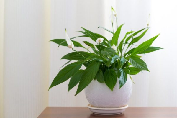 Растения по фен-шуй. 10 растений, которые забирают плохую ...
