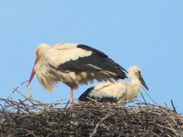 Proud Mother Stork, Riquewihr, Alsace, France