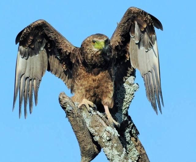 Eagle, Kenya
