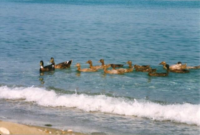 Ducks in the Aegean, Skyros, Greece