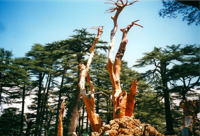 Cedars-1