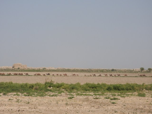 Camel Train, Ancient Merv, Turkmenistan