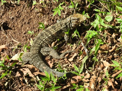Iguacu Falls Lizard Brazil