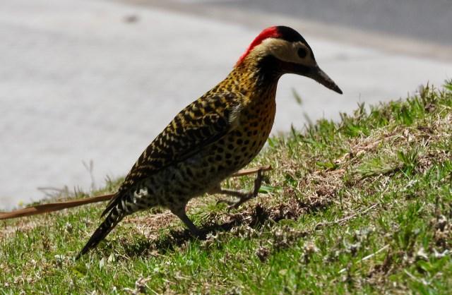 Argentinian Woodpecker