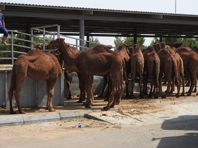 Camels for Sale, Ashgabat Livestock Market