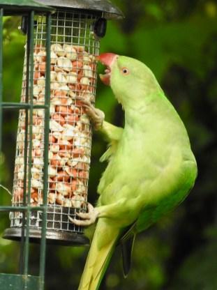 Parakeet Surrey
