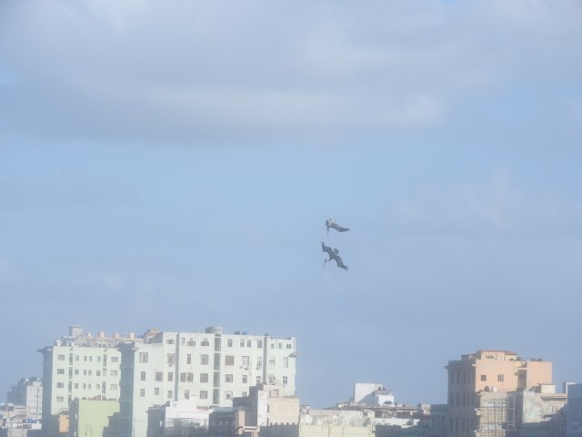 Pelican, The Malecon, Havana