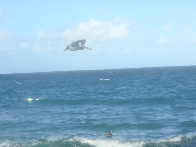 Pelican, The Malecon, Havana, Cuba