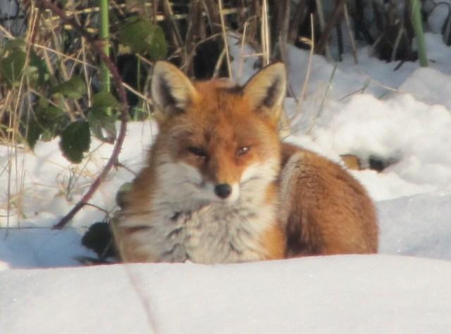 Fox in the Snow, UK
