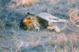 Lions-1