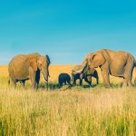 Elephant Guides Of Nepal