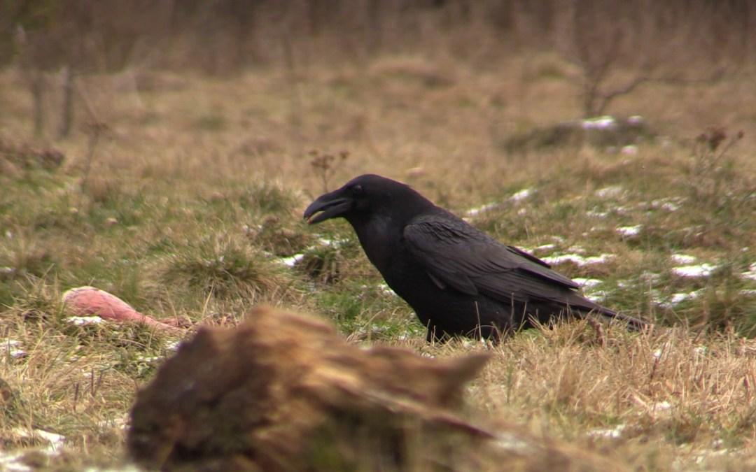 Raven in Vlaanderen!
