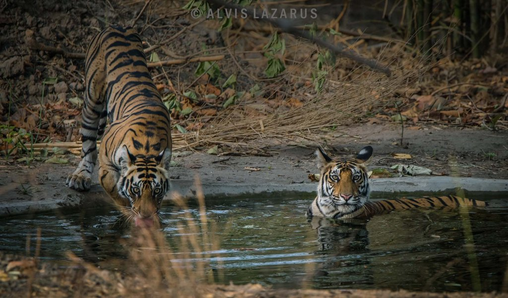 wild-tiger wild-photography wildlife-photographer wildlife-photography photography-classes
