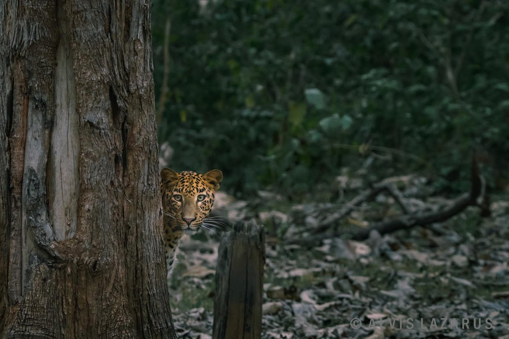 Indian-leopard-portrait kabini-leopard big-cat-india