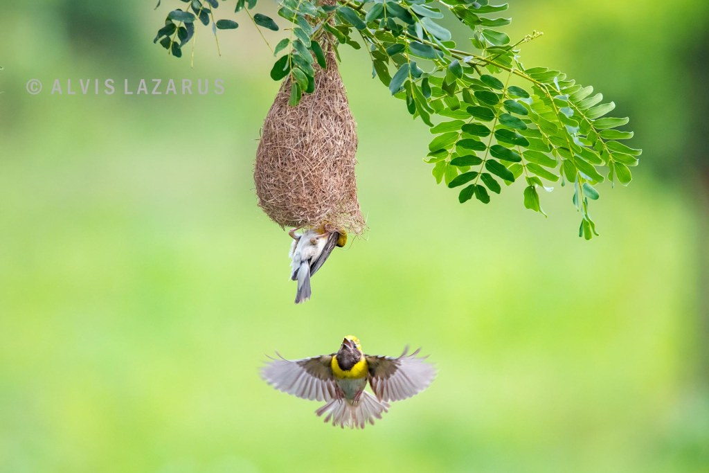 baya-weaver-nest flight bird-photographer photography-class