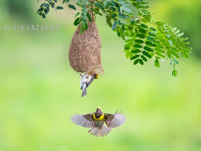 Baya Weaver in Flight to nest - Crisis with another Male Weaver