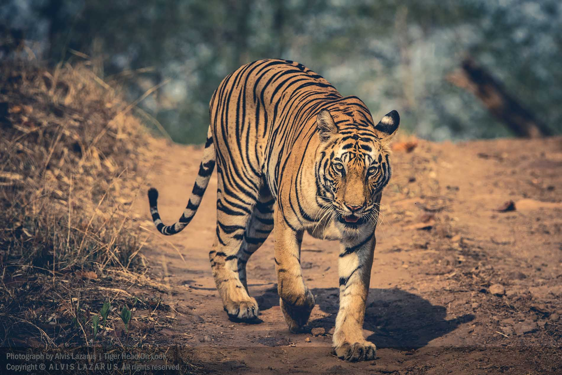 wild tiger portrait wildlife photography