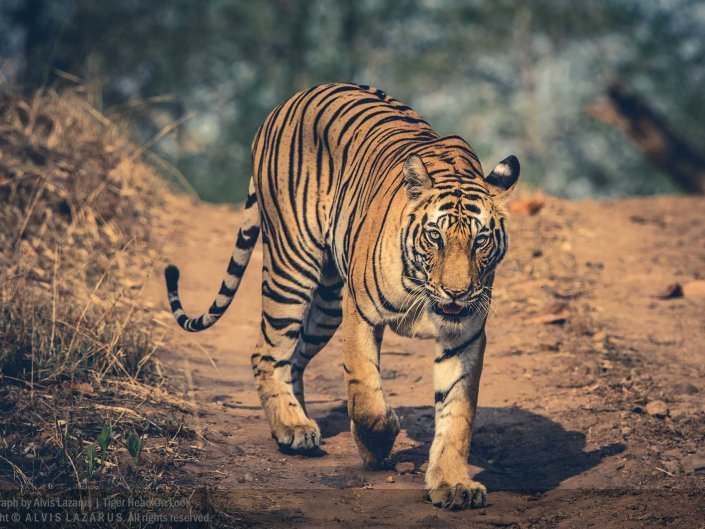 Wild Tigers of India
