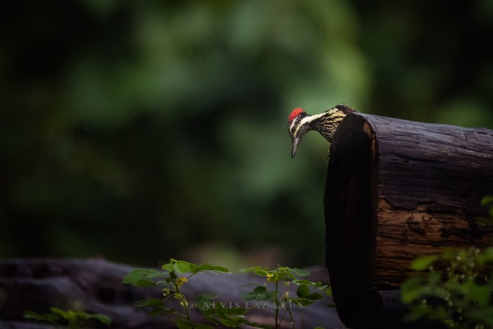lesser-flameback-woodpecker portrait habitat onground wildlife photography bangalore
