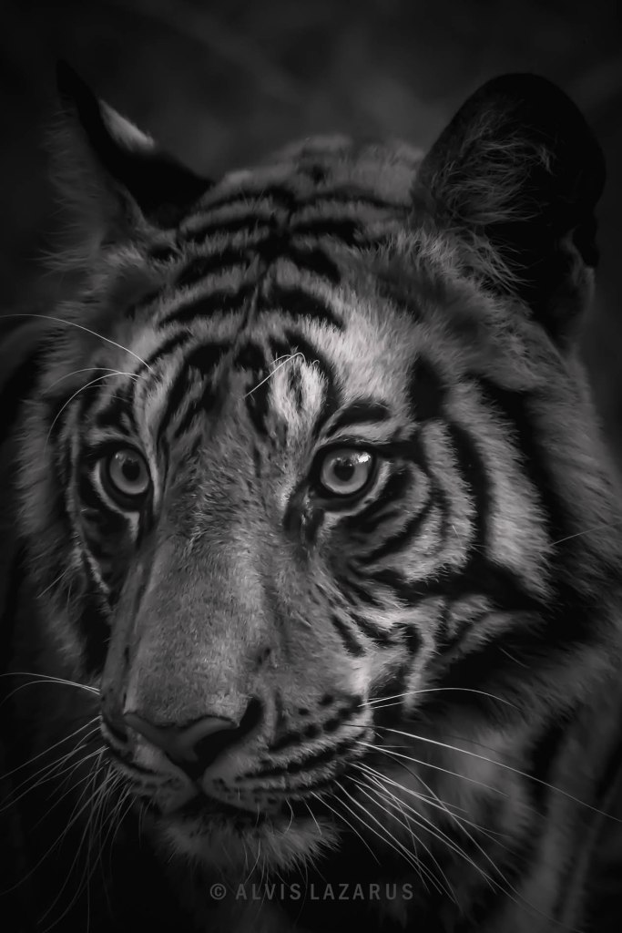 tigers-of-bandhavgarh indian-wild-tigers tiger-closeup tiger-portraits how-to-see-tiger-in-wild-india wildtiger wildlife-photography wildlife-photography wild-photography