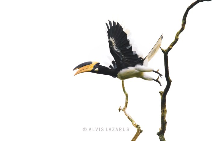 Malabar Pied Hornbill take off hornbill in filght