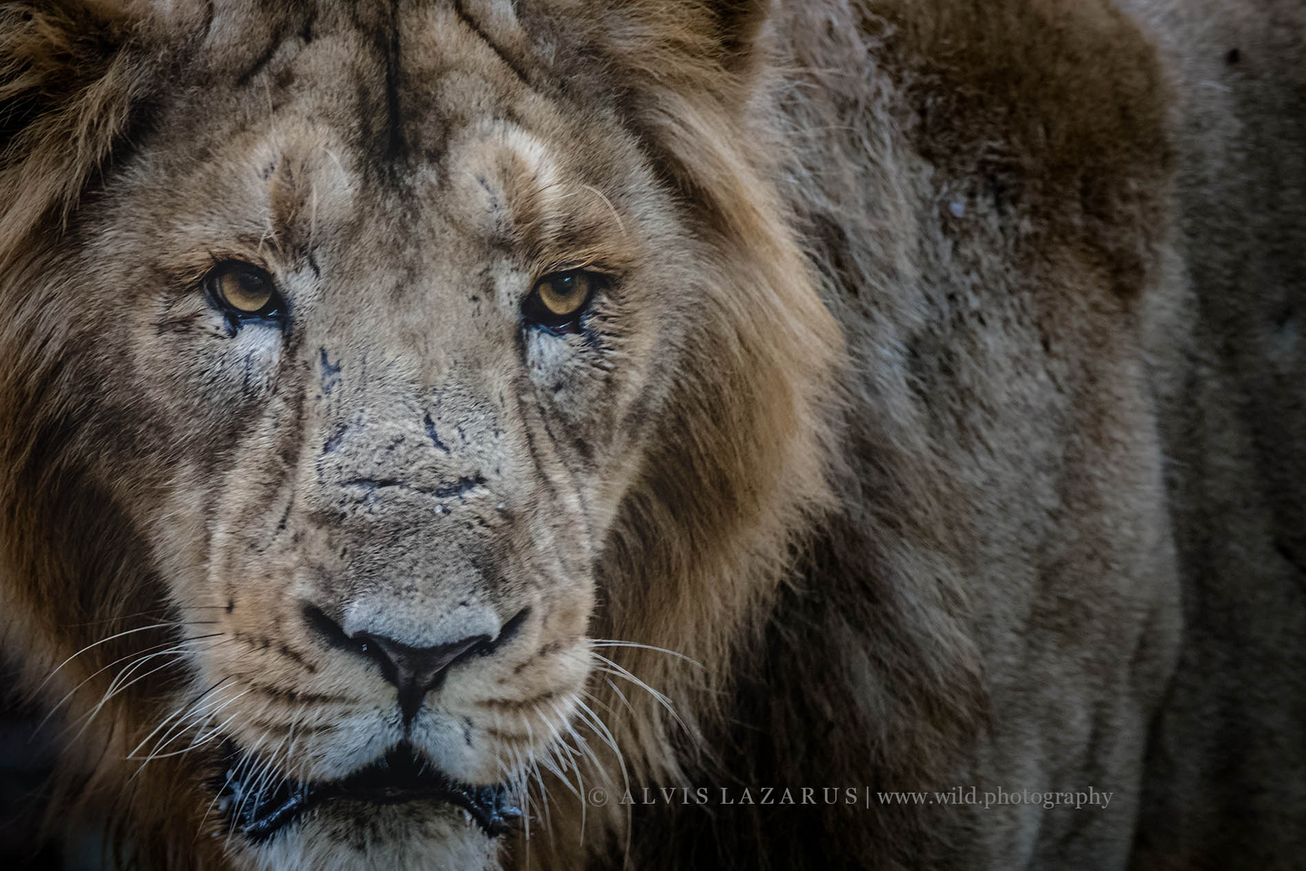 Wild Male Lion Portrait from Sasan GIR Gujarat