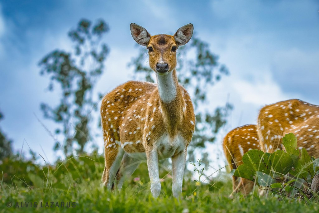 spotted-deer-portrait bandipur-national-park wildlife-photographer
