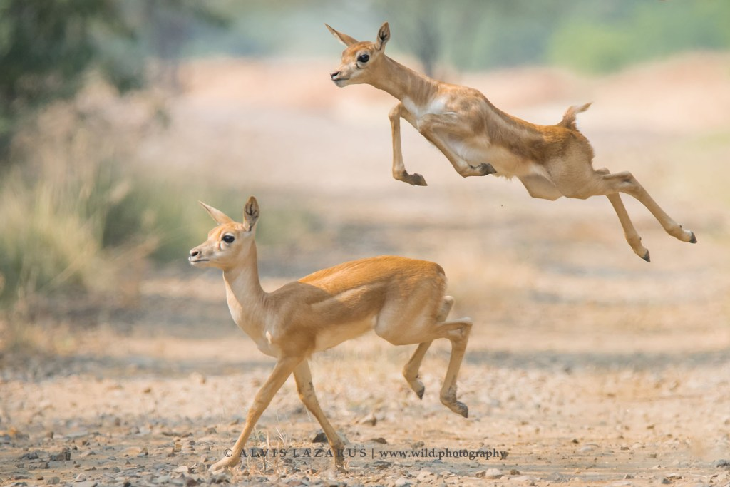 black-buck-fawn-jump black-buck-habitat wild-photography india gujarat wildlife