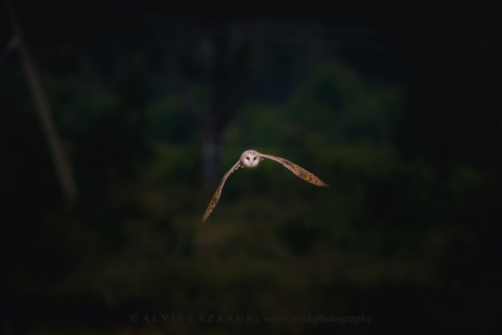 barn-owl-flight bird-in-flight owl-flight wildlife-photography wild-photography